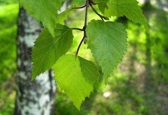 береза фото листья